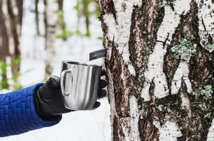 Gathering birch syrup in early spring with the snow still on the ground.