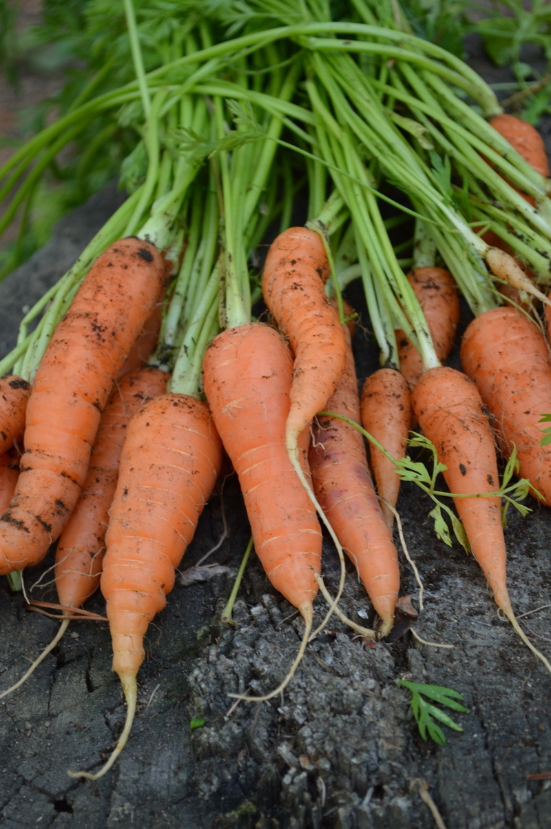 freshly harvested carrots - Gardening tips for success in zone 3