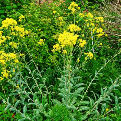 Woad as natural antibiotics
