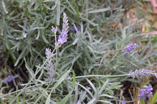 Lavender is one of the trickier perennial herbs to grow. It likes to be dry and warm, in a Mediteranean climate. When you live in one of the hardier growing zones, you need to know a few tricks to get lavender to succeed. But with these tips you'll be able to grow lavender successfully in zones 5 to 3. Give lavender a try in your garden.