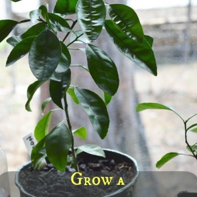 Grow a meyer lemon tree from seed