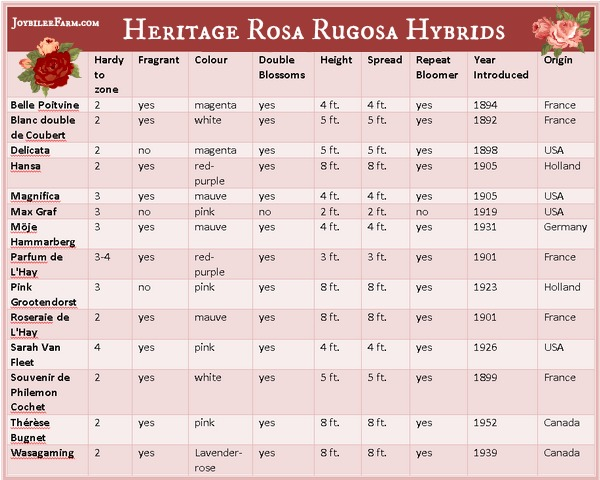 Heritage Rugosa Rose hybrids