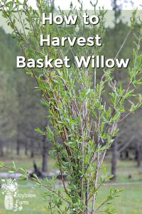 Freshly harvested willow branches