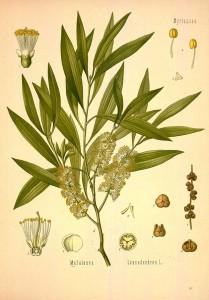 21 ways to use tea tree oil on your homestead