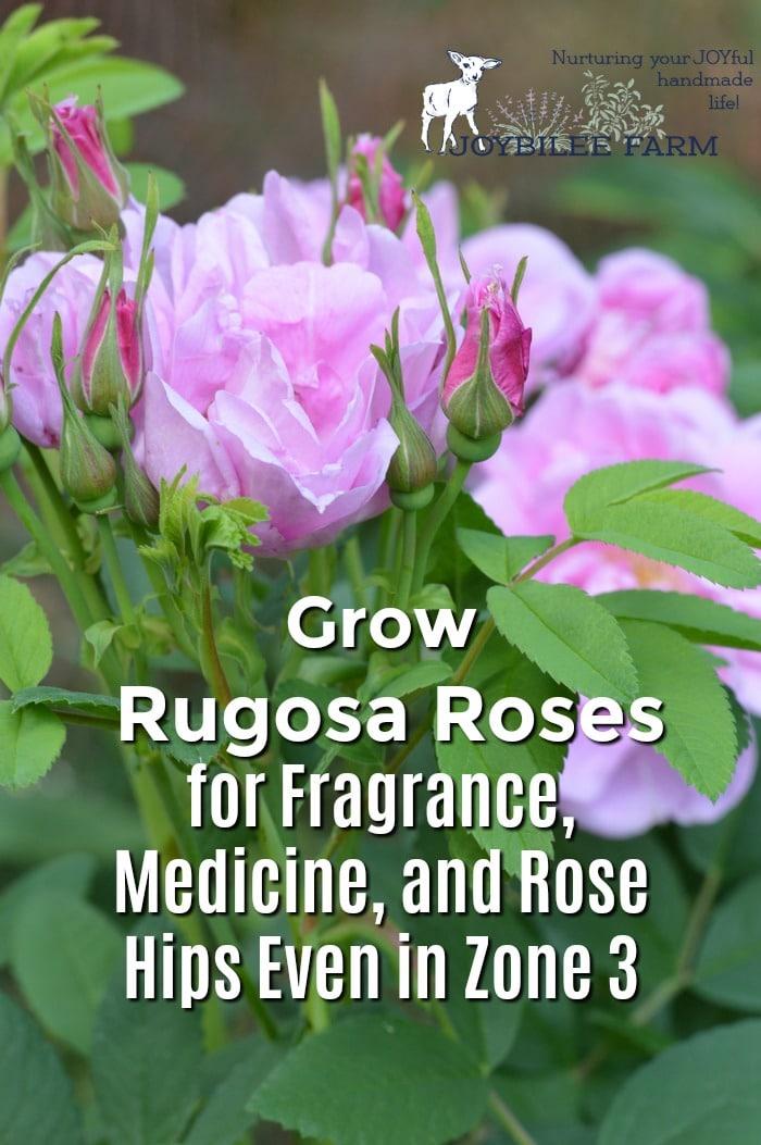 Hansa Rugosa Roses