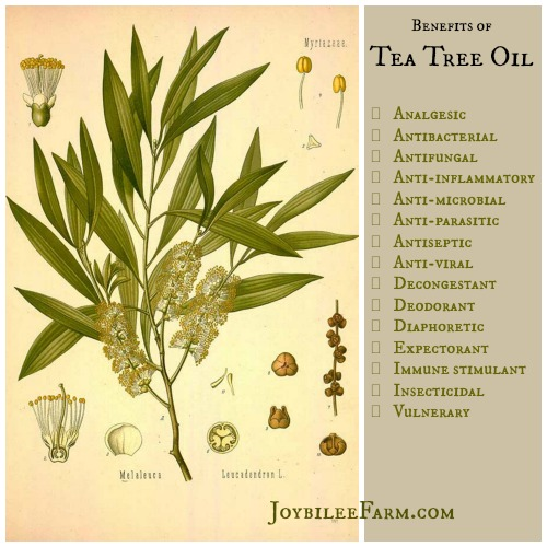 Tea Tree oil plant diagram and benefits