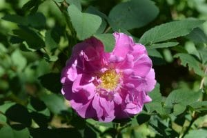 Grow Rosa Rugosa Roses for Fragrance, Medicine, and Rose Hips Even in Zone 3