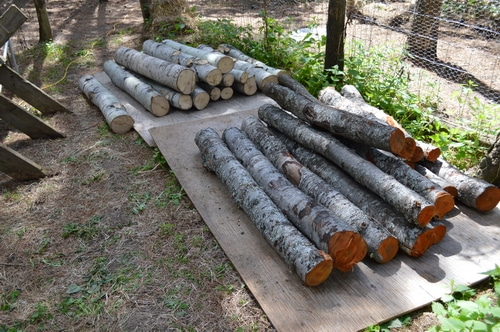 alder and aspen logs being dried for mushroom spawning