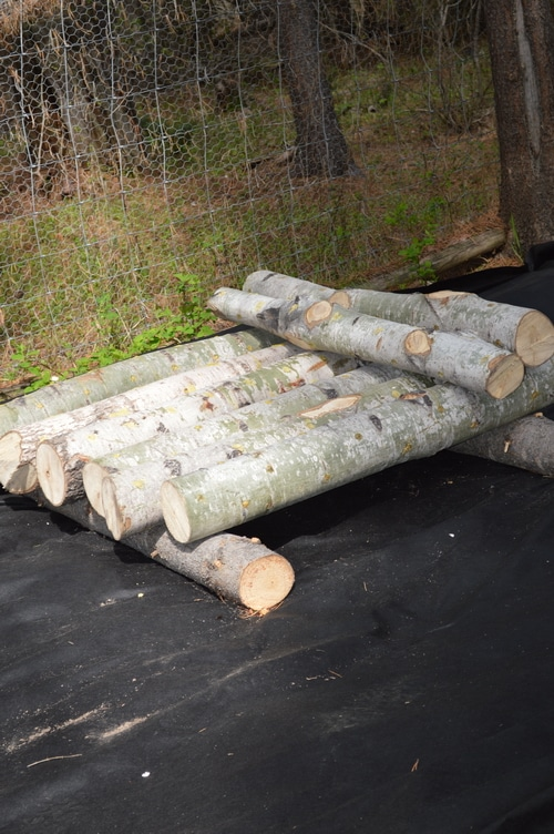 plugged mushroom logs being set up to to let them mycellate -- How to grow mushrooms on logs – Joybyilee Farm