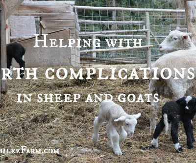 Helping with birth complications in sheep and goats