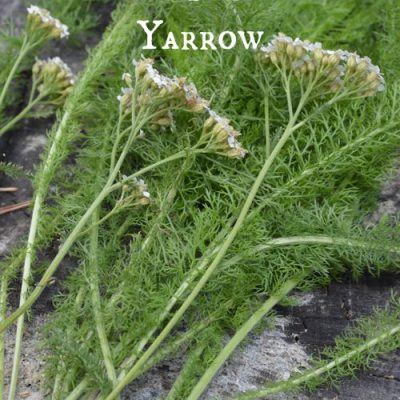 How to stop bleeding with yarrow