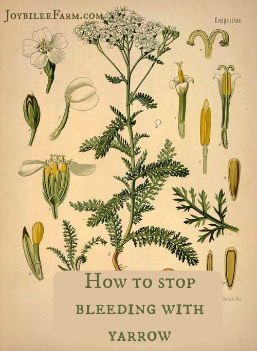 How to stop bleeding with yarrow -- Joybilee Farm