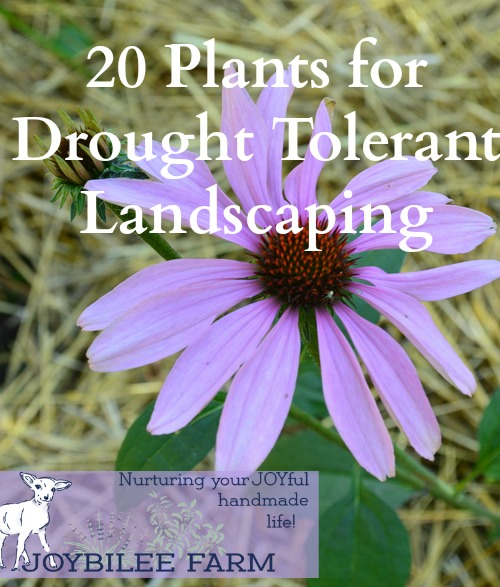 20 drought tolerant plants for your zone 3 garden joybilee farm 20 drought tolerant plants for your zone 3 garden joybilee farm diy herbs gardening mightylinksfo