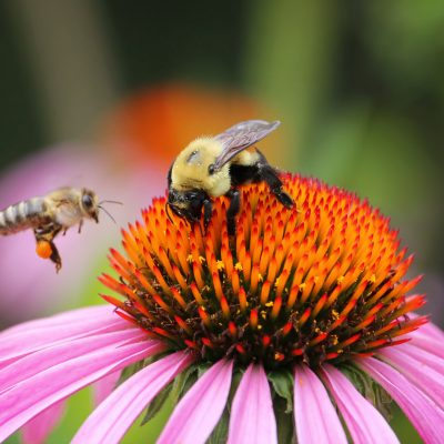 42 Bee Friendly Garden Plants
