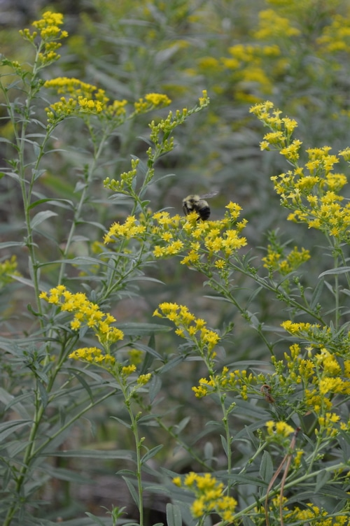 golden rod with a bee
