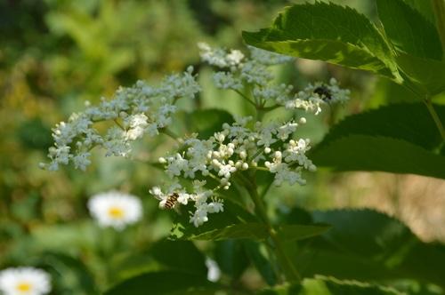 elderflowers and bees