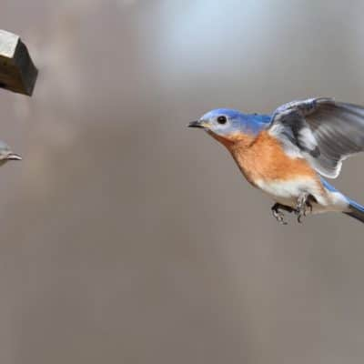 Build a BlueBird House and Reduce Insect Pests In Your Garden the Lazy Way