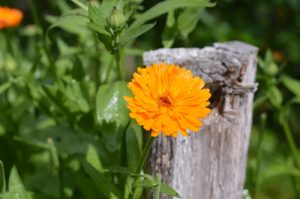 Companion Planting with Herbs to Increase Biodiversity and Improve Yields
