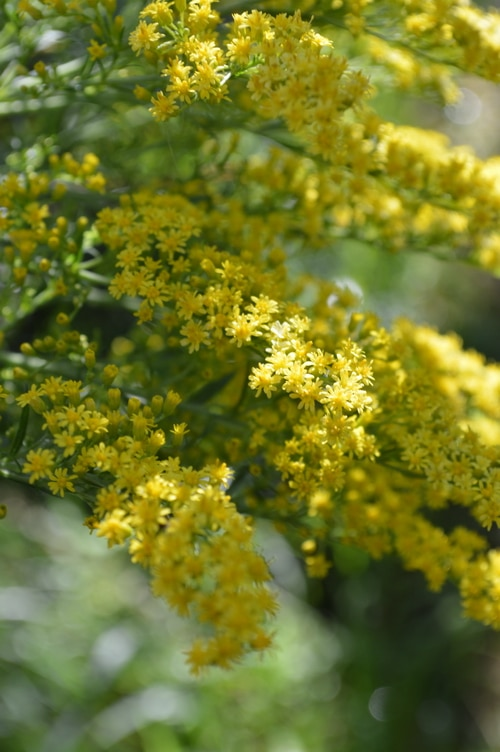 golden rod pic
