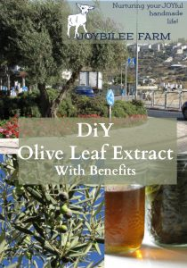 Olive leaves are anti-microbial, anti-viral, anti-inflammatory, and antiseptic. This makes them useful to fight infection, and other feverish conditions, and to stave off a cold or the flu. Buhner in Herbal Antivirals, lists olive leaf as an anti-influenza herb and supplement. Olive leaf is anti-microbial, and anti-viral. It protects the lungs from damage and is useful both in preventing viruses from replicating and in protecting the lungs during a virus that you can't seem to shake.
