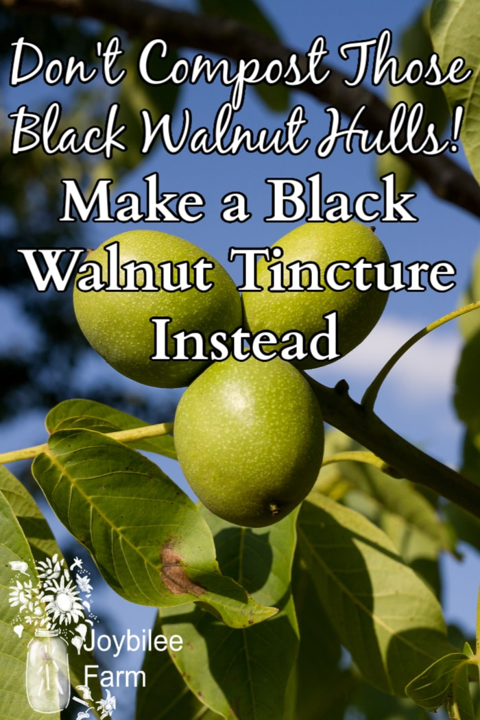 black walnuts still on the tree
