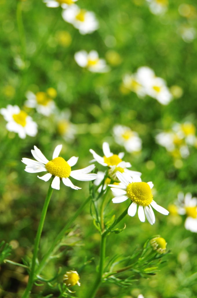 "Chamomile tea, called manzanilla or ""little apple"" in Spanish, due to its apple-like scent, is one of the best herbal remedies for anxiety and sleeplessness. A cup of manzanilla tea before bed soothes and relaxes the mind, without leaving you groggy in the morning. It is safe for young children, pregnant women, nursing mothers, and the elderly. And while you probably know it well as a sleep and anxiety remedy, you probably didn't realize that manzanilla tea is one of the best remedies for tummy upset, nausea, and colicky pains, among its many other benefits."