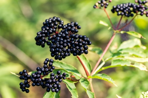 Elderberries for herbal syrup.