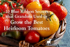 10 Blue Ribbon Secrets that Grandma Used to Grow the Best Heirloom Tomatoes