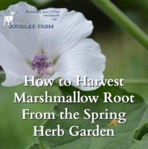 How to Harvest Marshmallow Root From the Spring Herb Garden