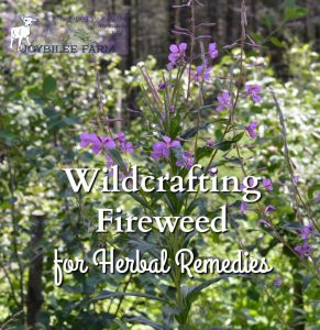 Wildcrafting Fireweed for Herbal Remedies
