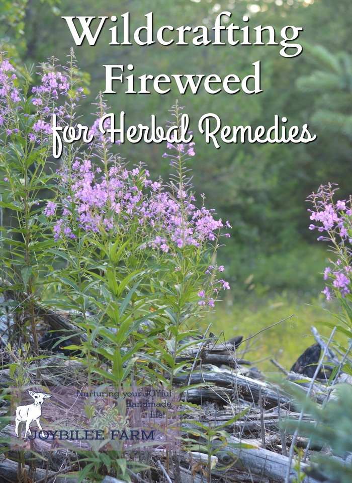 Fireweed is loaded with tonic benefits for the entire body, especially for men. The antioxidants in fireweed benefit the digestive system, the urinary system, the circulatory system and the heart, the brain, the endocrine system, the immune system, the lungs, and the skin. It is both tonic and nutritive.
