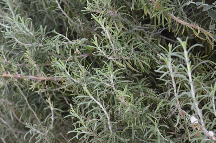 "When you consider rosemary think, ""Rosemary is for remembrance"" and you'll capture the very best of this amazing culinary and medicinal herb."