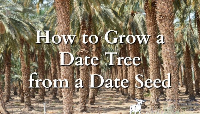 How to Grow a Date Tree from a Date Seed