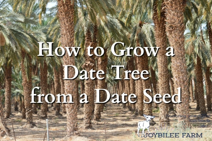 How to Grow a Date Tree from a Date Seed | Joybilee® Farm