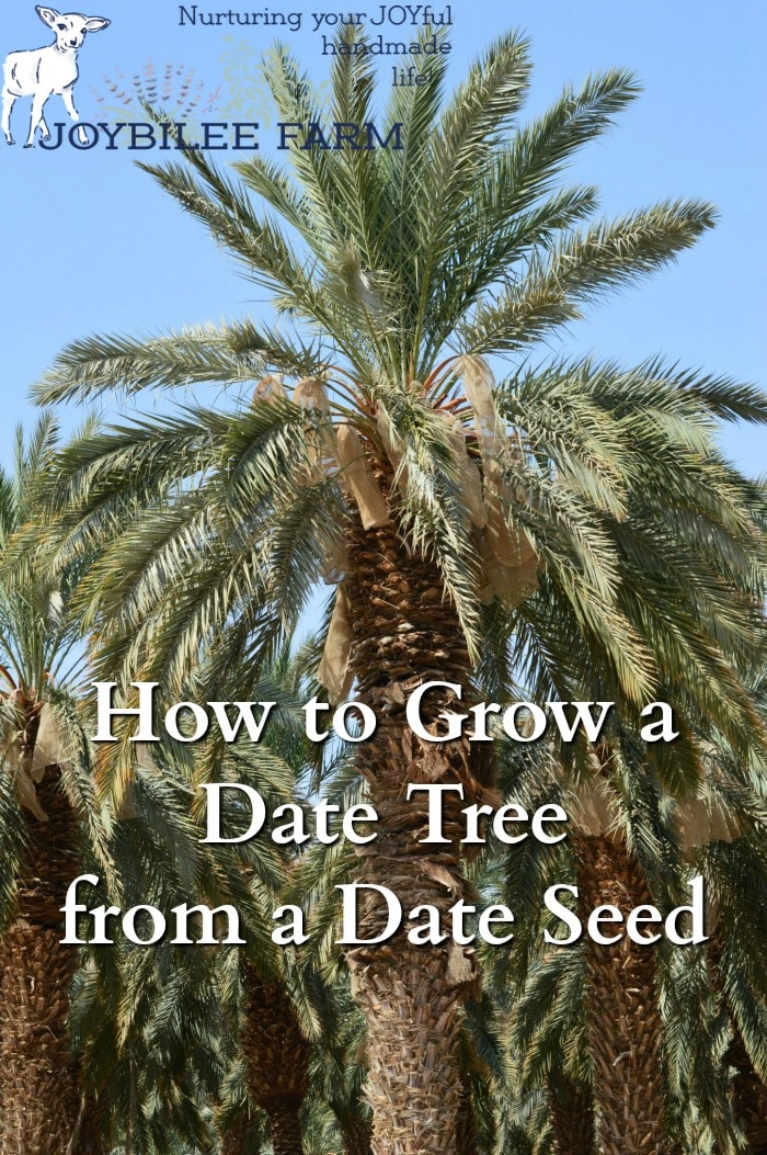 You can grow your own date tree from a date seed, found in a grocery store date.