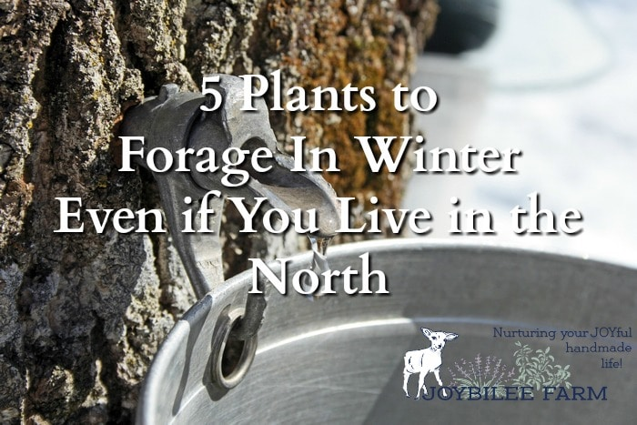 5 plants to forage in winter because foraging enthusiasts don't stop foraging when the snow falls. They look for plants to forage in winter, knowing that this is the best season for these edible and medicinal wild plant allies.