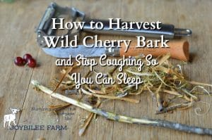 How to Harvest Wild Cherry Bark and Stop Coughing So You Can Sleep