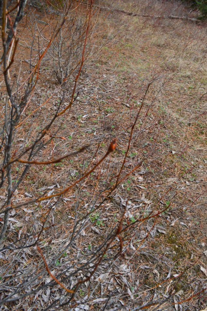 Balsam Poplar Buds