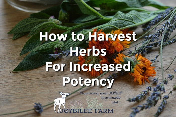 When to Harvest Herbs For Increased Potency and Flavor