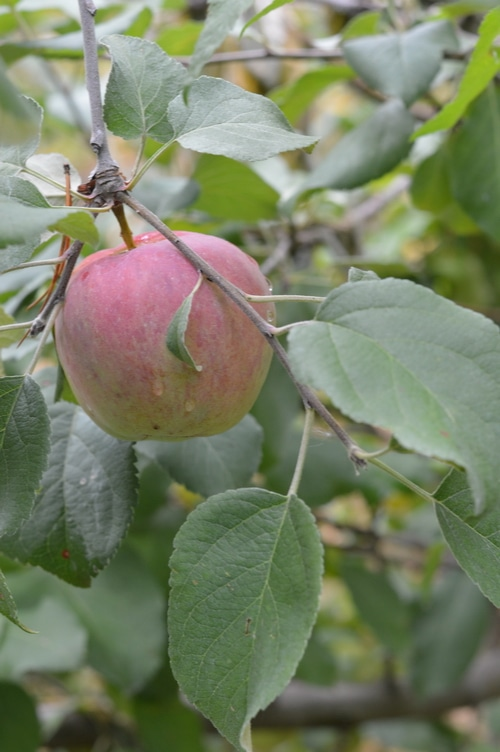 Red apples waiting for the harvest