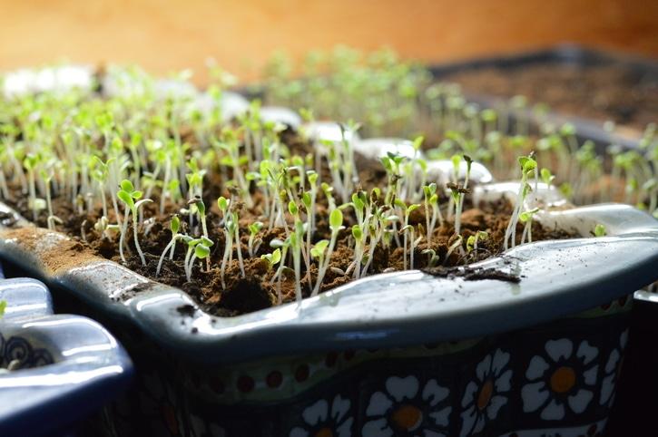Growing lettuce indoors under lights 7 days after planting
