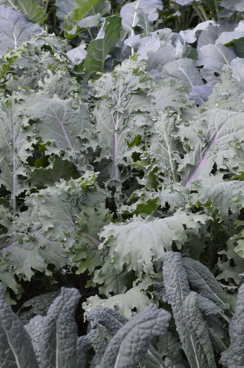 Kale plants in the garden