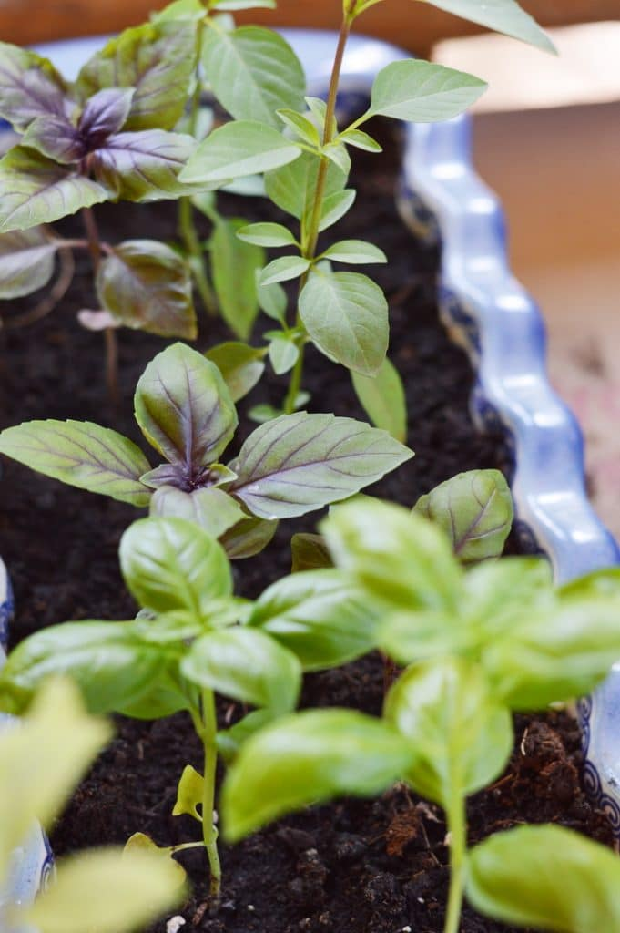 Basil seedlings for medicinal herb gardening in containers