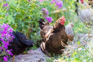 15 Medicinal Herbs for Chickens to Keep Them Healthy and Pestfree