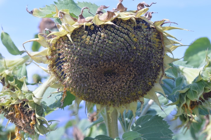 Waning sunflower