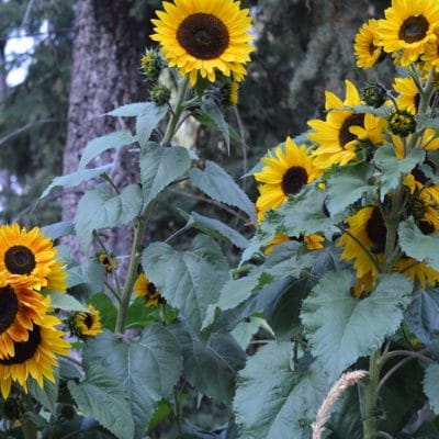 Growing Sunflowers for Pollinators in the Great Sunflower Project