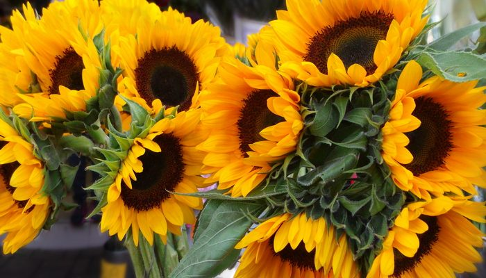 How to Grow Sunflowers for a Memorable Outdoor Wedding
