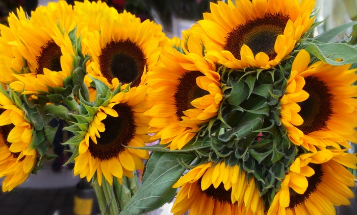 Freshly cut sunflowers in a market