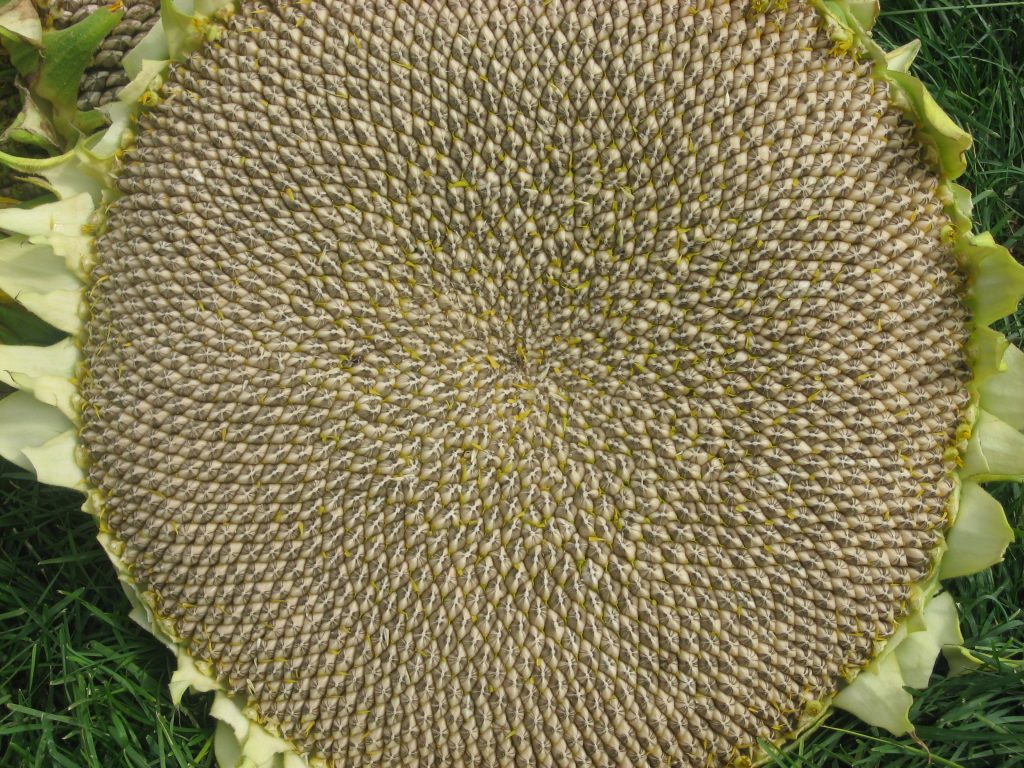 The seed head of a giant sunflower that is bigger than a dinner plate.