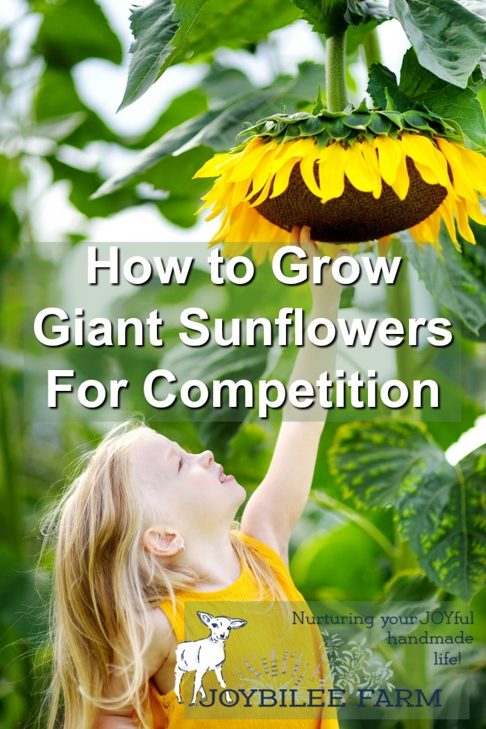 By planting giant sunflowers you can grow a beautiful privacy screen in one season, create a child's play house, grow a hedge, or achieve a world record. These huge sunflower varieties grow up to a foot each week, once their roots are established. Their flowers are huge too, and can be as big as a dinner plate. But winning a giant sunflower competition requires upping your sunflower growing strategies. These tips will help you be in the winner's circle at the country fair.